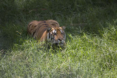 Portrait of a lurking male wild tiger Royalty Free Stock Photography