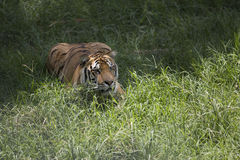 Portrait of a lurking male wild tiger Stock Photo