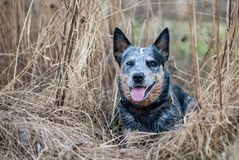 Australian Cattle Dog Stock Photos