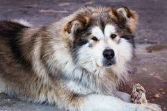 Portrait of lying big dog of a mongrel. Portrait of a lying big dog of a mongrel Stock Photography