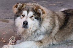 Portrait of lying big dog of a mongrel. Portrait of a lying big dog of a mongrel Stock Photos