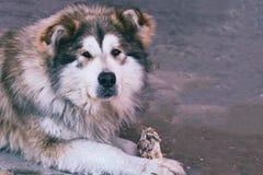 Portrait of lying big dog of a mongrel. Portrait of a lying big dog of a mongrel Stock Photo