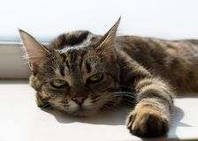 Portrait of lying cat with yellow eyes stock image