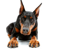 Portrait of lying doberman pinscher Royalty Free Stock Photo