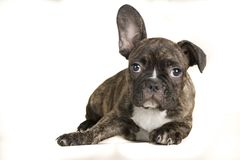 Portrait of lying french bulldog fullbody brown dog -text space on the left stock photos