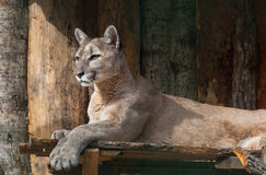Portrait of lying puma Royalty Free Stock Photos