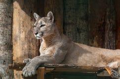 Portrait of lying puma. Calm predator Royalty Free Stock Photos