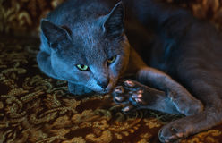 Portrait of lying russian blue cat Royalty Free Stock Photography