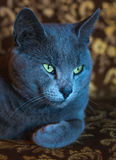 Portrait of lying russian blue cat Royalty Free Stock Images