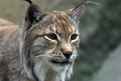Portrait of the Lynx stock image