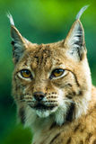 Portrait of a Lynx. Focus is on the eyes Royalty Free Stock Image