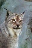 Portrait of a lynx Stock Image