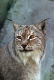 Portrait of a lynx. Close-up Stock Photos