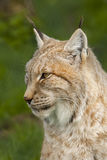 Portrait of a lynx. Royalty Free Stock Images