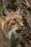 Portrait of a lynx. Royalty Free Stock Photo