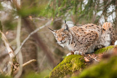 Portrait lynx Royalty Free Stock Photos