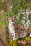 Portrait lynx Royalty Free Stock Photography