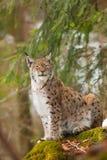 Portrait lynx. Bobcat or lynx portrait on stone Royalty Free Stock Photography