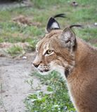 Portrait of a lynx. Lynx close up in the summer afternoon Stock Images