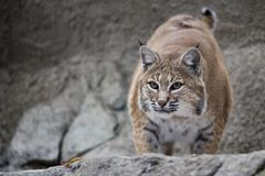 Portrait Lynx sitting on a rock. Lynx sitting on a rock in Zoo. Close up Portrait Royalty Free Stock Photos