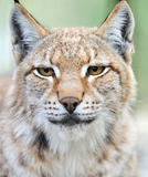 Portrait of a Lynx Royalty Free Stock Photos
