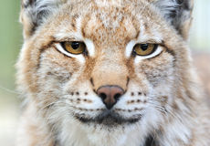 Portrait of a Lynx. In the wild Stock Image