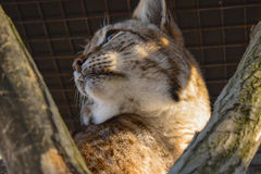 Portrait of lynx. Wild cat (lynx) resting on the tree. Close-up portrait Stock Photo