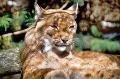 Portrait Of A Lynx. Wild cat sleeping lynx on tree Royalty Free Stock Photos