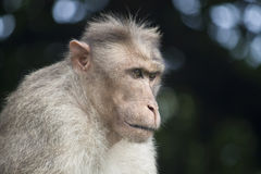 Portrait of a macaque Royalty Free Stock Photos