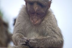 Portrait of a macaque Stock Photo
