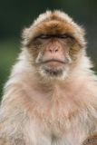 Portrait of macaque Royalty Free Stock Photo