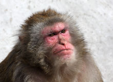 Macaque monkey with human look Royalty Free Stock Image