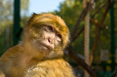 The portrait of Macaque monkey Stock Photo