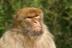 Portrait of Macaque with nasty look Stock Images
