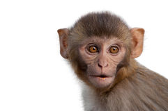 Portrait of macaque Stock Images
