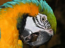 A portrait of macaw. A parrot cleans oneself with its beak royalty free stock image