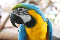 Portrait of macaw Royalty Free Stock Photography