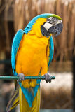 Portrait of Macaw Stock Photo