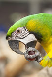 Portrait of Macaw. A beautiful of parrot in a zoo Stock Photography