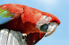 Portrait macaw chloroptera Stock Photos