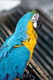 Portrait macaw parrot Stock Photography