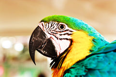 Portrait of macaw parrot Royalty Free Stock Image