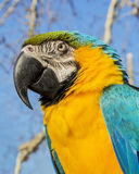 Portrait of macaw parrot on natural bacground.  Royalty Free Stock Images