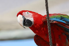 Macaw parrot sitting on rope Stock Image