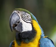 Maccaw Parrot Portrait. Portrait of a Maccaw Parrot with beautiful blue and yellow feathers Stock Photography