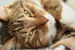 Portrait of a mackerel tabby cat close-up royalty free stock image