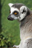 Portrait Of A Madagascar Ring Tailed Lemur Stock Photos