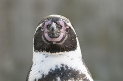 Portrait of a Magellanic Penguin Stock Images