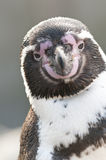 Portrait of a Magellanic Penguin Royalty Free Stock Photography