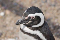 Portrait of a magellanic penguin Stock Images